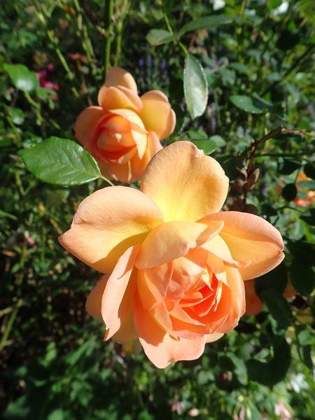 rosa 'lady of shalott' - Page 5 Dimanc32