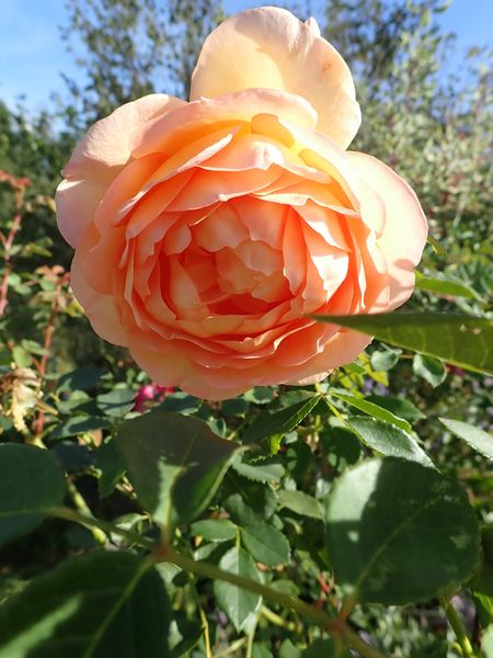 rosa 'lady of shalott' - Page 5 Dimanc33