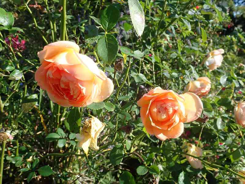 rosa 'lady of shalott' - Page 5 Dimanc34