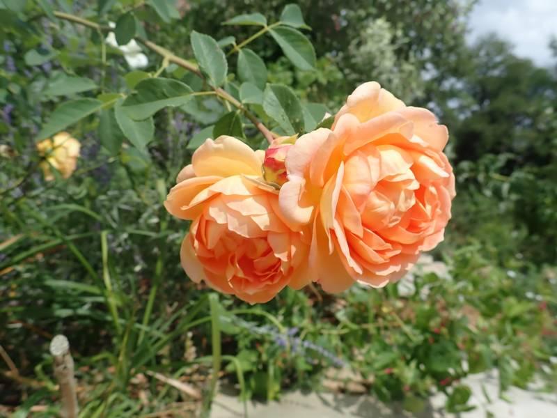 rosa 'lady of shalott' - Page 4 Lundi100