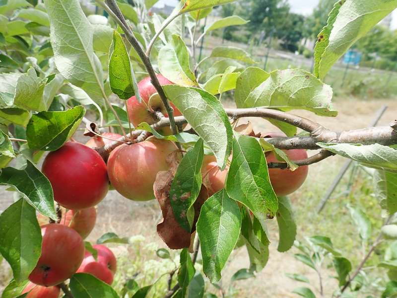 Mes fruitiers Lundi115