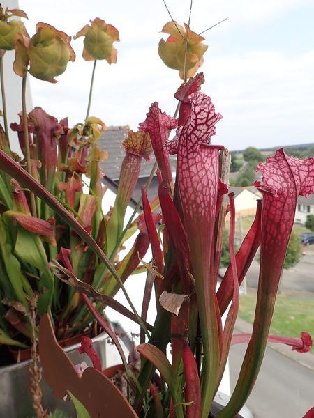 Plantes carnivores de Bip. Lundi137