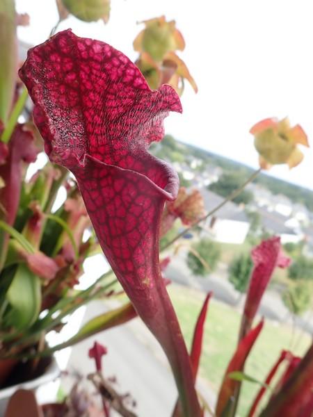 Plantes carnivores de Bip. Lundi138