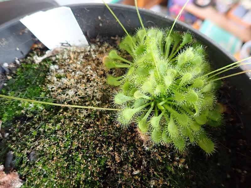 Plantes carnivores de Bip. Lundi142