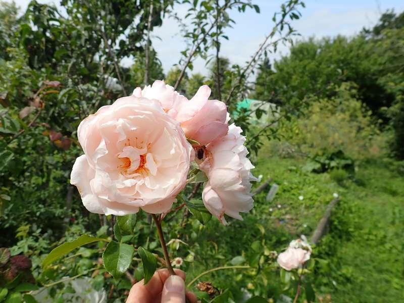 Rosa 'The Generous Gardener' ! Lundi164