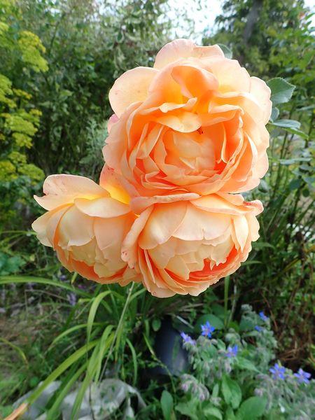 rosa 'lady of shalott' - Page 4 Lundi165
