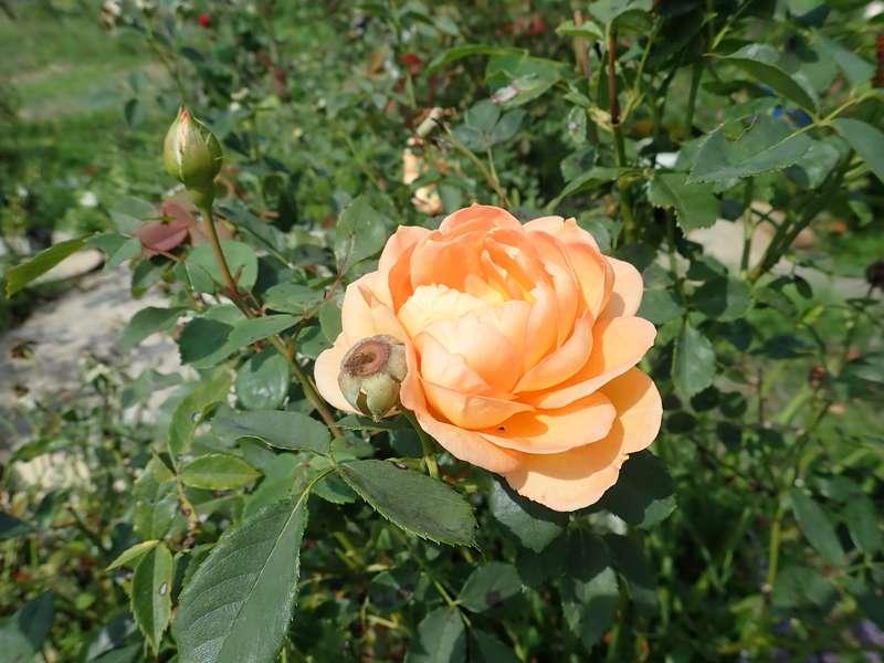 rosa 'lady of shalott' - Page 5 Lundi167
