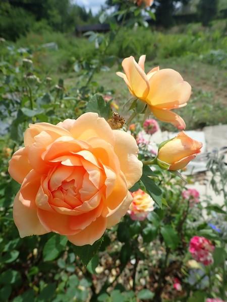 rosa 'lady of shalott' - Page 4 Lundi_97