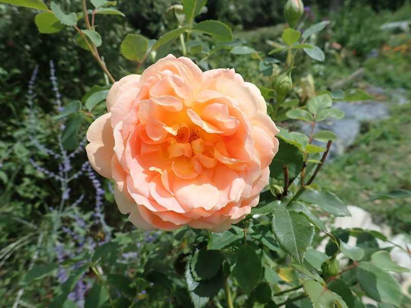 rosa 'lady of shalott' - Page 4 Lundi_98