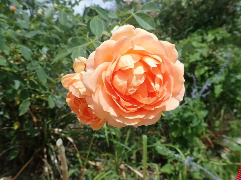 rosa 'lady of shalott' - Page 4 Lundi_99
