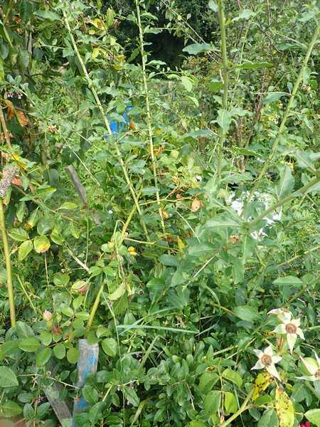 Arbuste de baie de Goji - Page 4 Mercr115