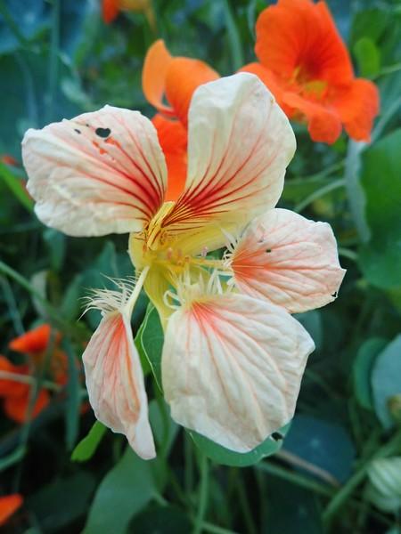 Tropaeolum majus - capucine des jardins Mercr133