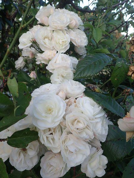 Rosa 'Bouquet Parfait' !!! - Page 8 Mercre28
