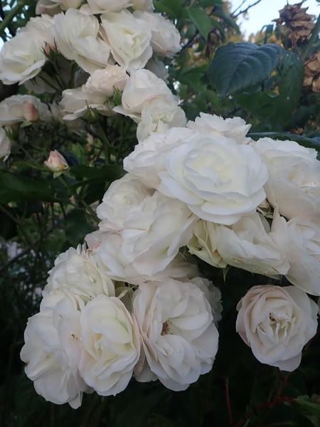 Rosa 'Bouquet Parfait' !!! - Page 8 Mercre29