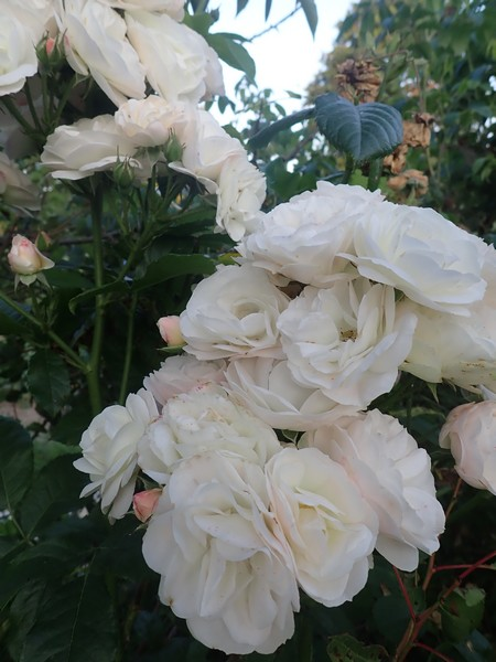 Rosa 'Bouquet Parfait' !!! - Page 8 Mercre30