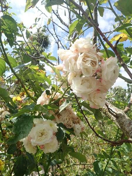 Rosa 'Bouquet Parfait' !!! - Page 8 Mercre74