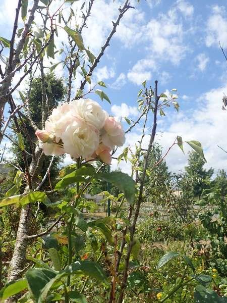 Rosa 'Bouquet Parfait' !!! - Page 8 Mercre75