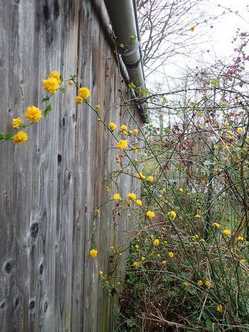 Kerria japonica - corète du Japon - Page 3 P1240010