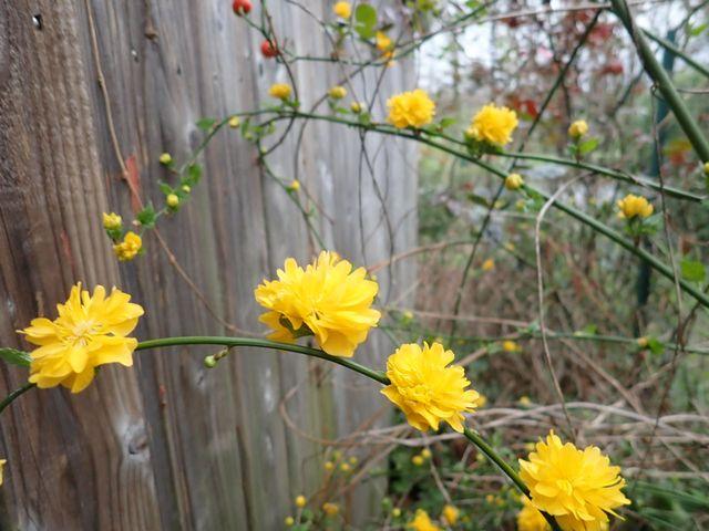 Kerria japonica - corète du Japon - Page 3 P1240011