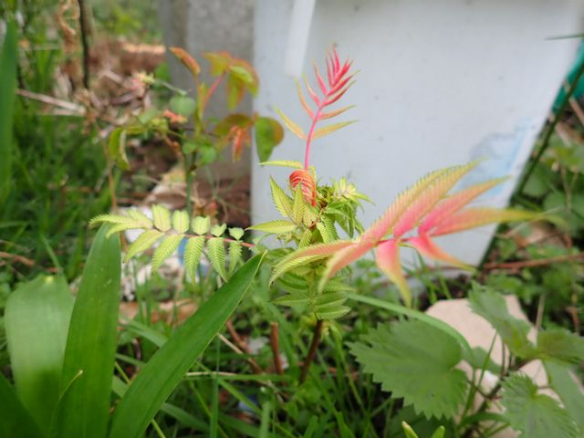 Sorbaria sorbifolia - sorbaria à feuilles de sorbier P1240016
