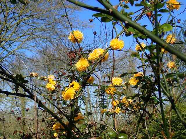 Kerria japonica - corète du Japon - Page 3 P2220019