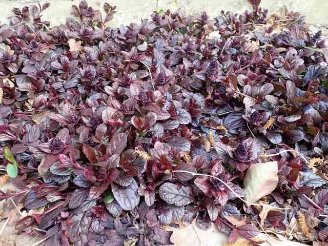 Ajuga reptans - formes horticoles de bugle rampante P3050028