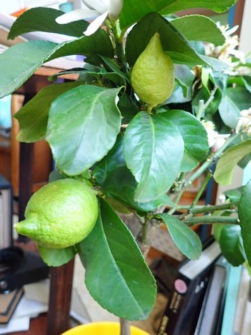 Citrus limon - citronnier des quatre saisons - Page 5 P3050032