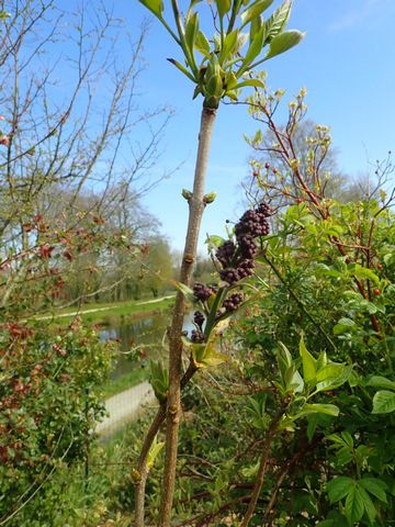 Syringa vulgaris - lilas commun P3050033