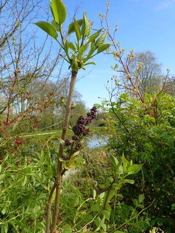 Syringa vulgaris - lilas commun P3050034