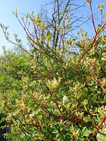 Cornus sanguinea - cornouiller sanguin - Page 2 P3090053