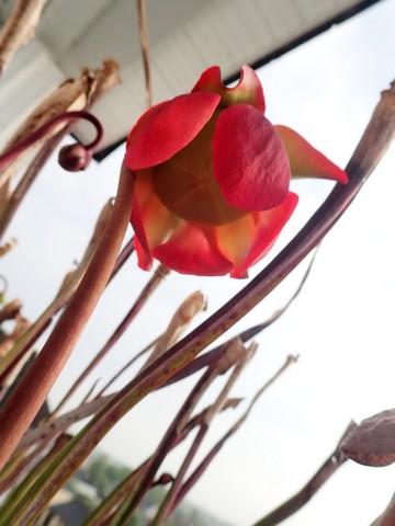 Plantes carnivores de Bip. - Page 3 P3130017