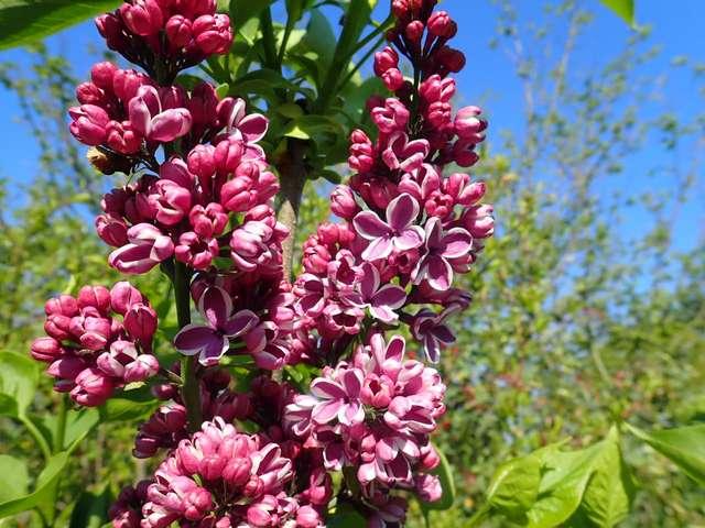 Syringa vulgaris - lilas commun - Page 2 P3150013