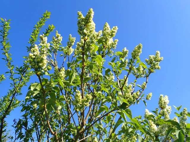 Syringa vulgaris - lilas commun - Page 2 P3150018