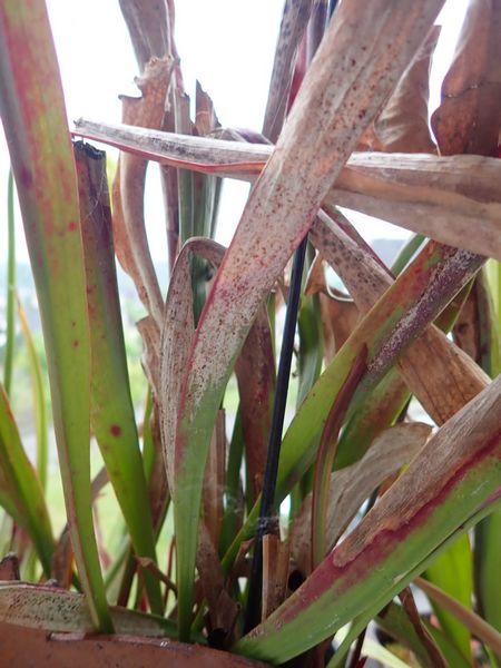 Plantes carnivores de Bip. - Page 4 P3240064
