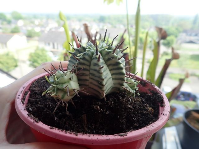 Euphorbia meloformis P3250021