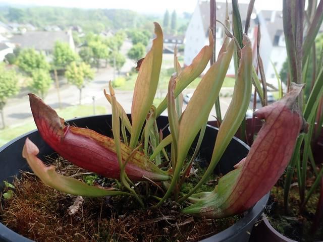 Plantes carnivores de Bip. - Page 4 P3250023