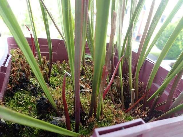Plantes carnivores de Bip. - Page 4 P3250025