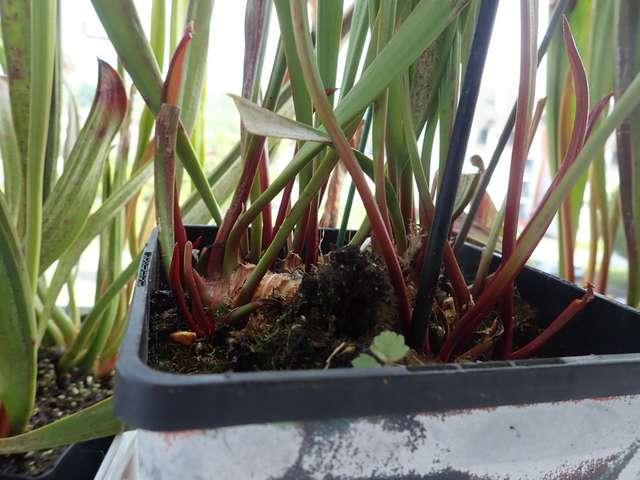 Plantes carnivores de Bip. - Page 4 P3250026
