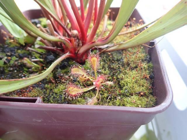 Plantes carnivores de Bip. - Page 4 P3250029