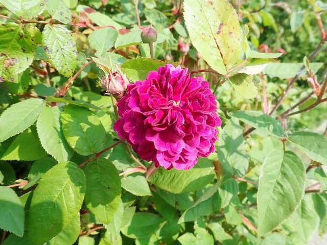petite renoncule violette - Page 2 P3260016