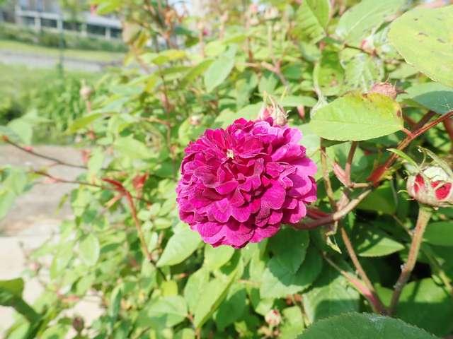 petite renoncule violette - Page 2 P3260017
