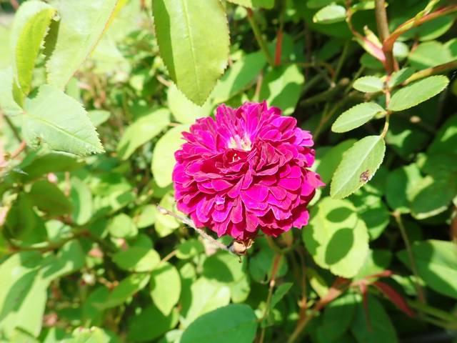 petite renoncule violette - Page 2 P3260019