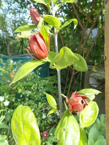 Calycanthus floridus - arbre aux anémones - Page 2 P3260040
