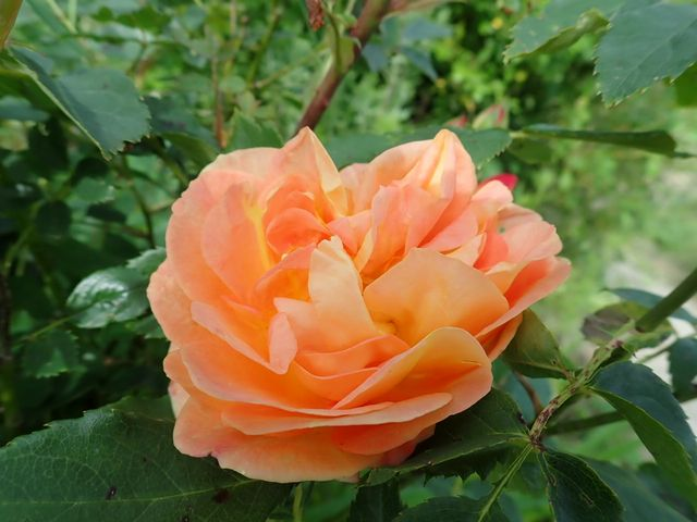 rosa 'lady of shalott' - Page 6 P4030030