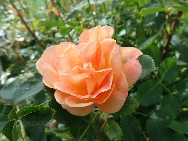 rosa 'lady of shalott' - Page 6 P4030031