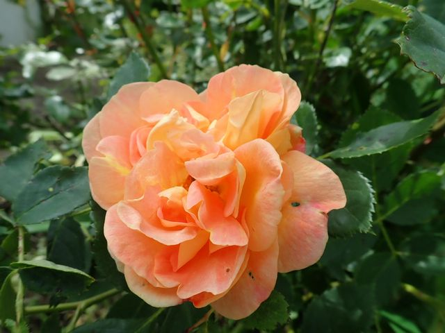 rosa 'lady of shalott' - Page 6 P4030032