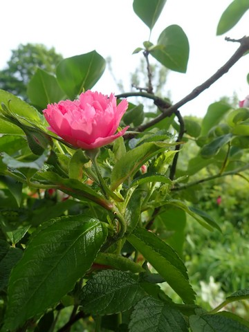 Rosa 'Pink Grootendorst' !!! - Page 2 P4030034