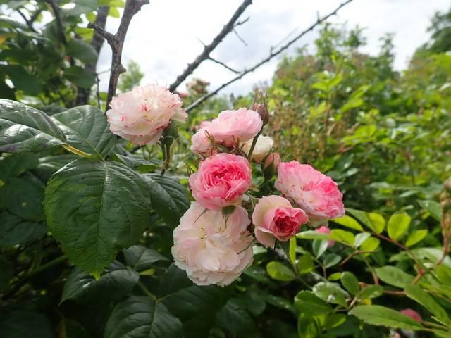 Rosa 'Bouquet Parfait' !!! - Page 11 P4030035
