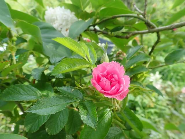 rosier 'Pink Grootendorst' P4030049