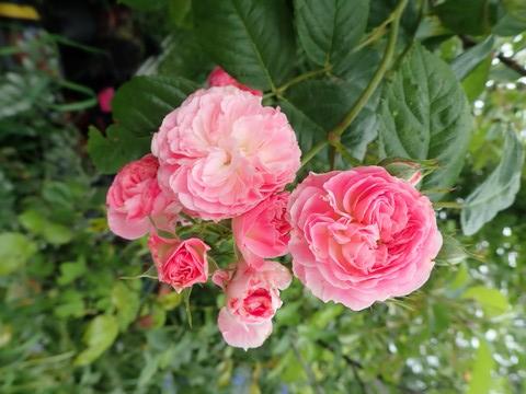 Rosa 'Bouquet Parfait' !!! - Page 11 P4050048